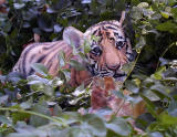 Baby Bengal Tiger at Three Months Old