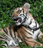 Baby Bengal Tiger at Five Months Old