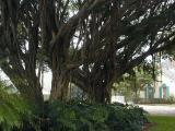 Tropical Banyan treesline many local streets