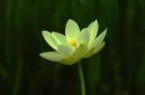 x9349_YellowFlower 3.jpg