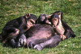Chimpanzee group.
