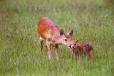 Chineese water deer.