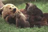 European brown bear feeding cubs.