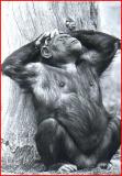 Male Chimpanzzzzeee.