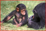 Young chimpanzee.