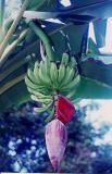 010313a_Banana in Dominica