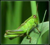 Small Green Grasshopper