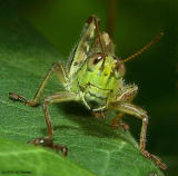 Funny Faced Grasshopper