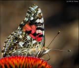 Painted Lady 6