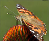 Painted Lady 5