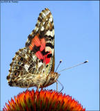 Painted Lady 3