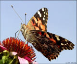 Painted Lady 4