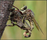 Robberflies Tying the Knot