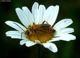 Leather Winged Beetle on a Daisy