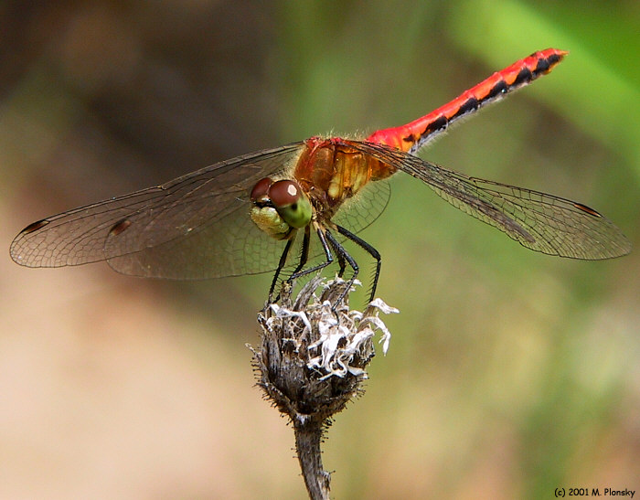 Perched Dragonfly I