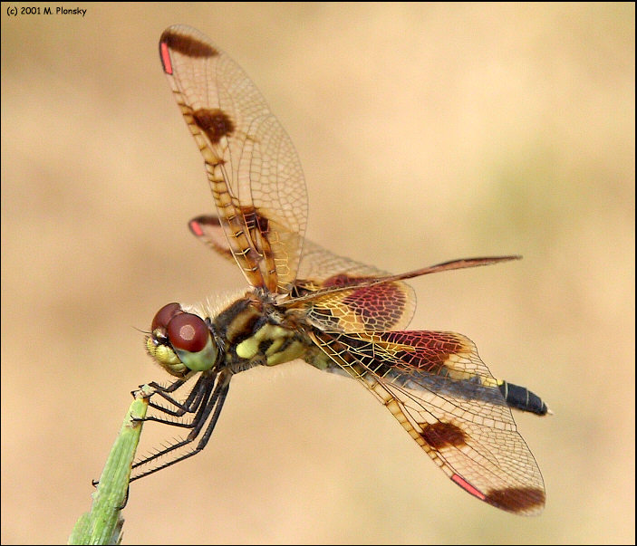 Dragonfly With Pretty Wings