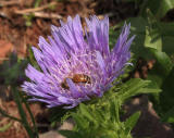 Stokesia with bee
