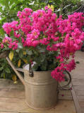 Crape Myrtle in watering can