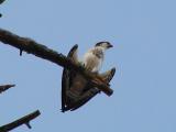 Osprey, Lake Shasta CA