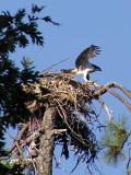 Osprey lands by nest