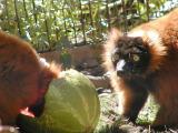 Lemur lunchtime