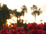 Bouganvilleas at sunrise
