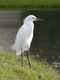 The bravest heron