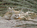 No sneaking up on these Fennec Foxes
