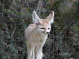 A sail fox