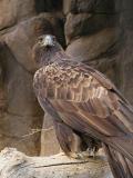 Nesting Golden Eagle