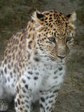 Leopard studying lunch