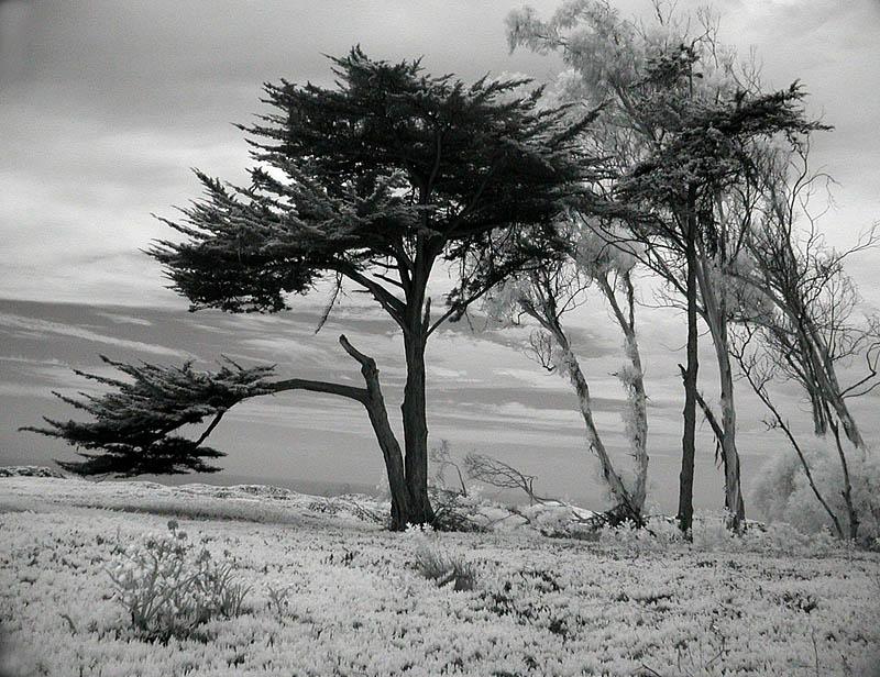 Cypress trees at beach