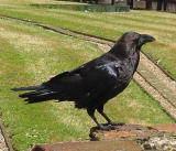 Ravens have traditionally been part of the tower and have names.  Do not feed the ravens!