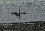 Dancing Heron.jpg