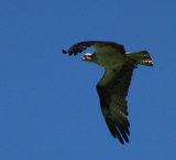 Osprey graceful in flight.jpg