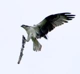 Osprey fixing nest.jpg