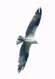 Osprey in flight  3.jpg