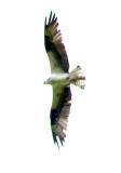 Osprey in flight 1.jpg