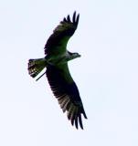 Osprey in flight 2.jpg