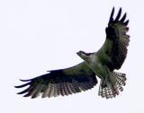 Osprey in flight 4.jpg