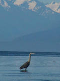 Heron and the Olympic Mts.jpg