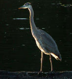 Heron twilight 2.jpg