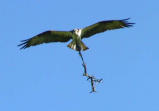 Busy Osprey.jpg