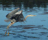 Heron in flight 2.jpg