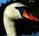 Swan 5.jpg