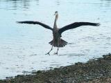 Heron.just landing.jpg