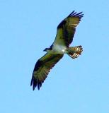 Osprey in flight 7.jpg