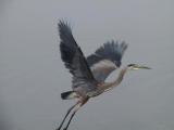 Heron.Large dl.jpg
