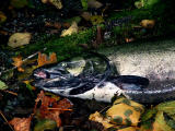 spawning salmon.jpg