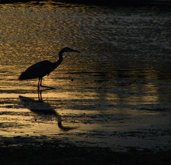Heron of the night.jpg